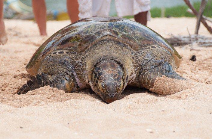 Sea Turtle Tangalla Sri Lanka