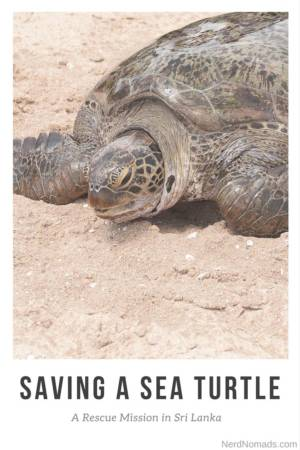 Sea Turtle in Tangalle, Sri Lanka