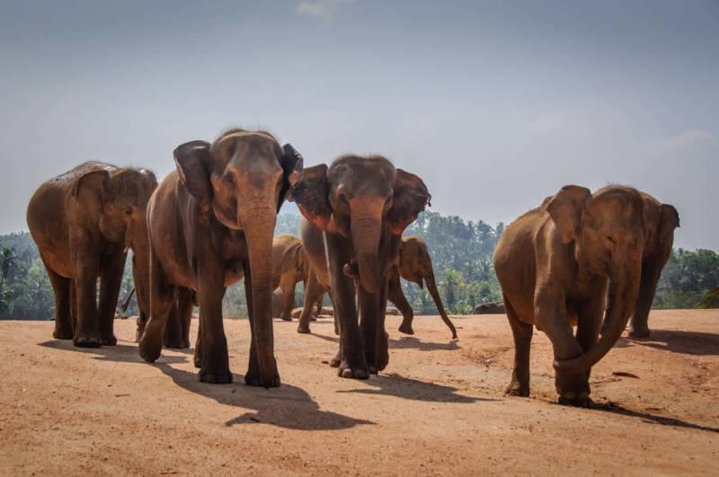 Pinnewala Elephant Orphanage, Kandy, Sri Lanka
