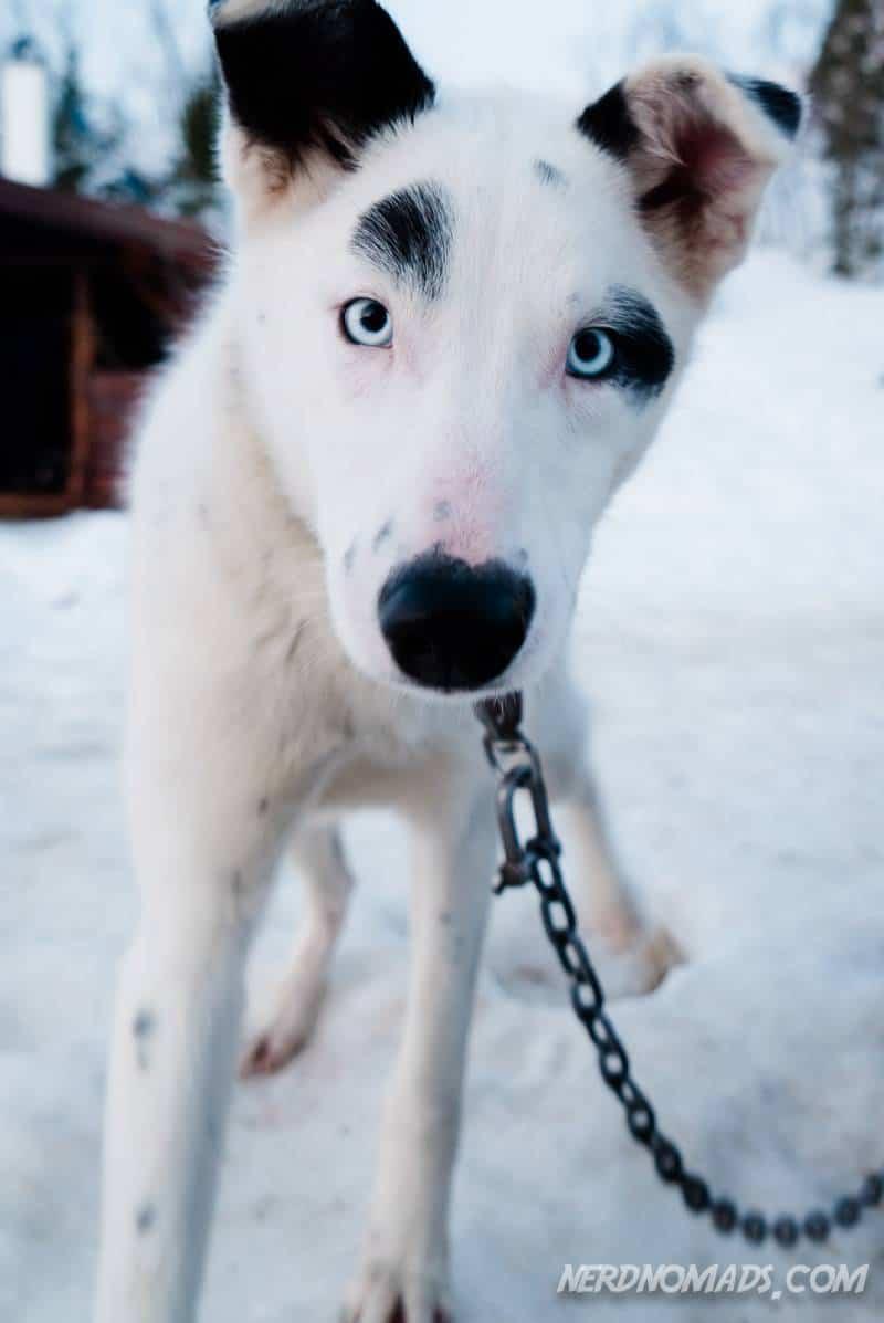 Blue eyes on a cute dog sledding husky dog in Tromso