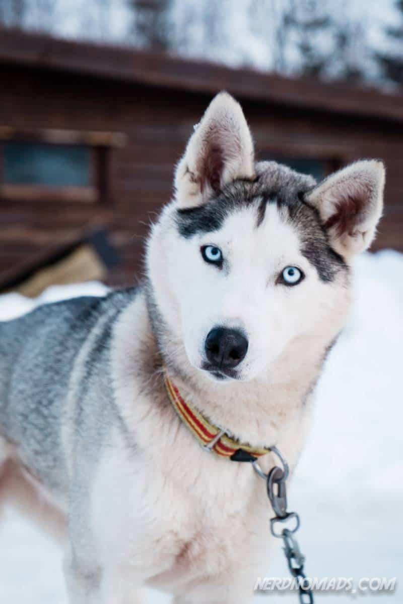 Cute dog sledding husky dog in Tromso