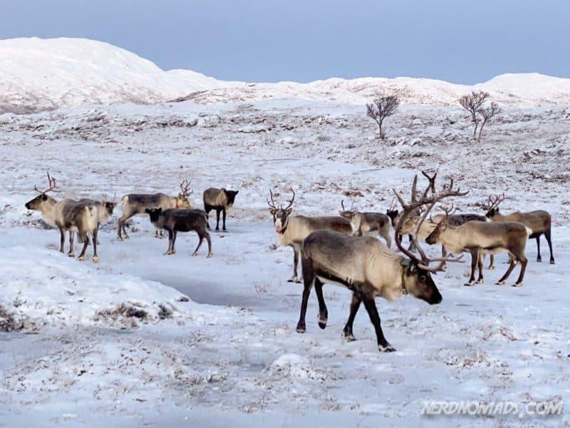 Reindeer in Tromso, Norway