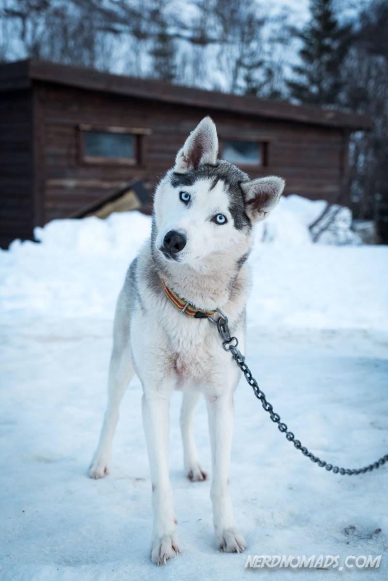 Cute Alaskan Husky