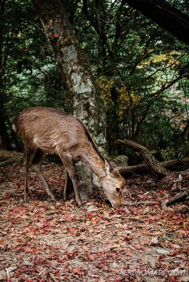 Deer at Mount Misen Miyajima Ropeway