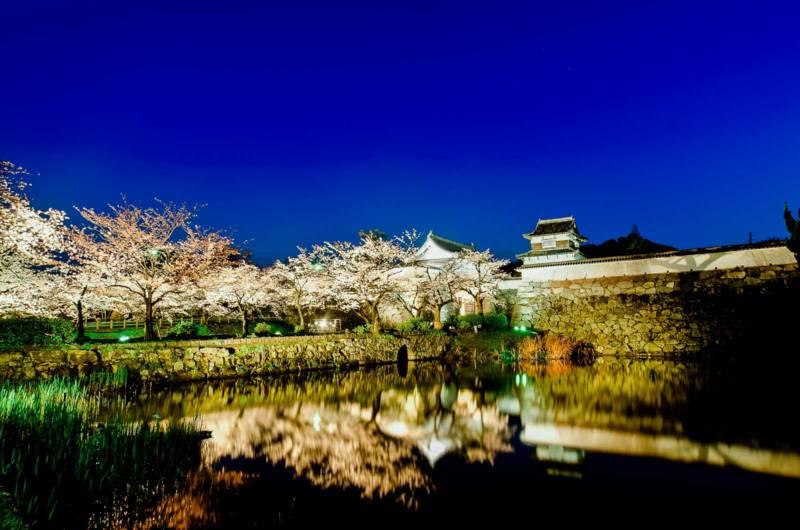 Cherry Blossoms Fukuoka Castle