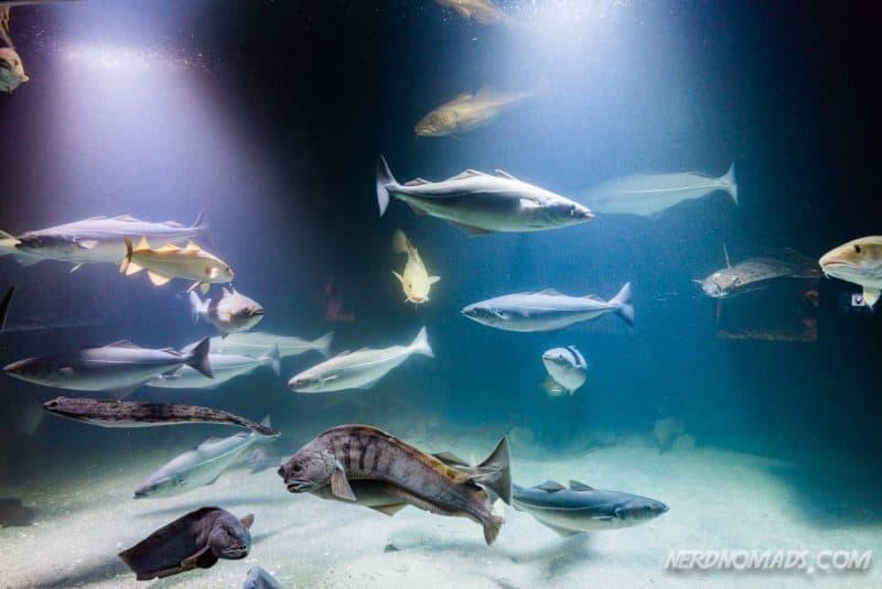 Lots of fish at Lofoten Aquarium/ Lofotakvariet i Kabelvåg