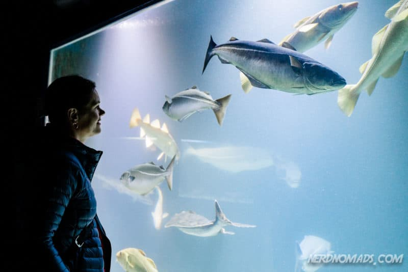 Cod at Lofoten Aquarium/ Lofotakvariet i Kabelvåg