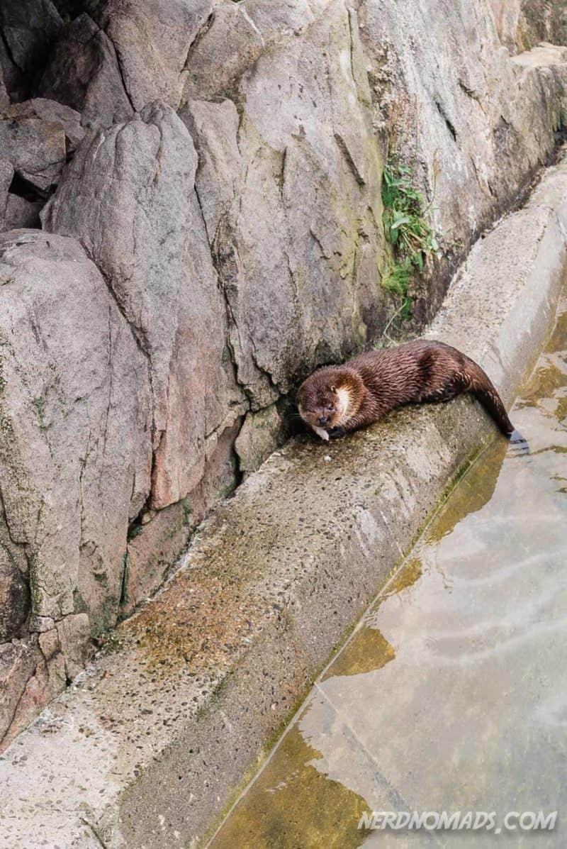Cute otters at Lofoten Aquarium/ Lofotakvariet i Kabelvåg