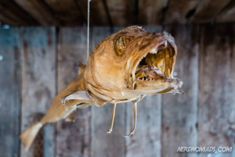 King cod is predicting the weather forecast at Lofoten Stockfish Museum